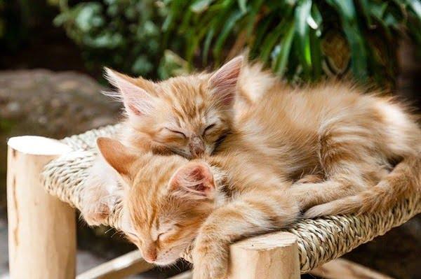 Dos gatitos sí pueden convivir. Foto luxstorm en Pixabay